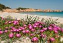 Fioritura Spiaggia Rosa